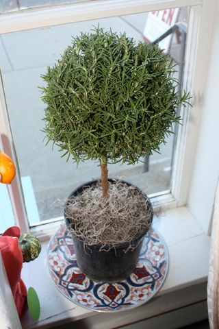 Rosemary-topiary-scented-christmas-plant
