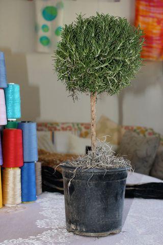 Rosemary-topiary-c